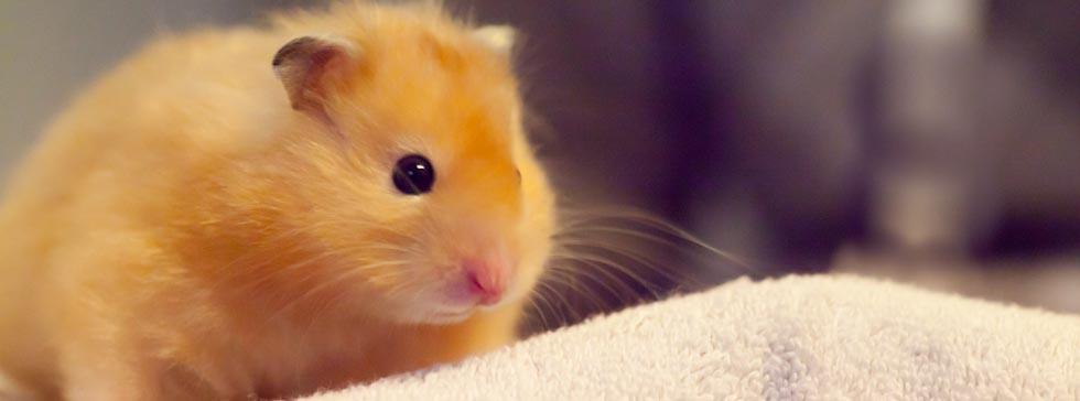 suche einen hamster
